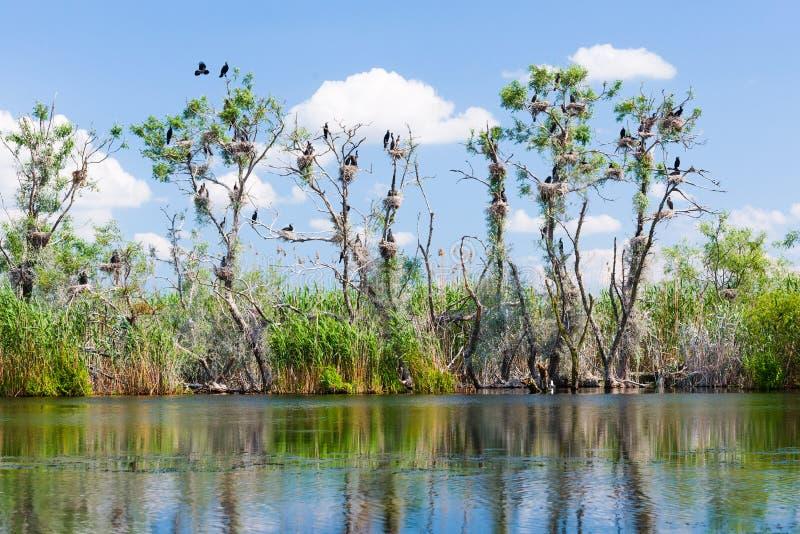 Nidi di Cormorant in albero fotografia stock libera da diritti