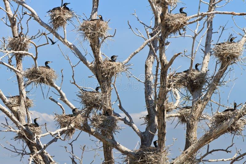 Nidi di Cormorant in un albero fotografia stock