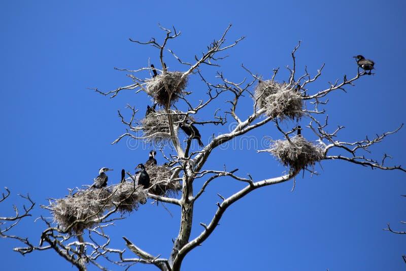 Nidi neri del cormorano in un'abetaia fotografia stock libera da diritti