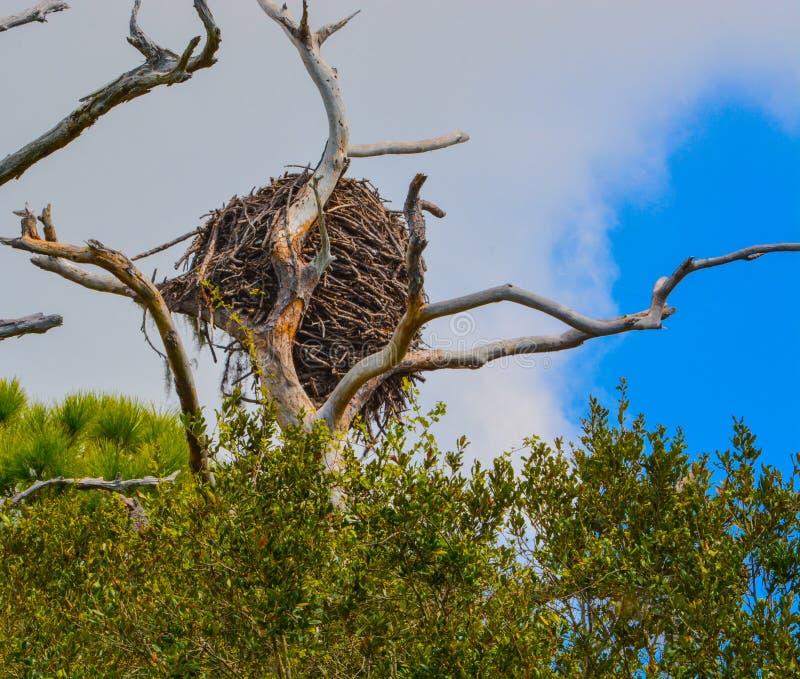 Nido alla riserva acquatica della baia del limone in Cedar Point Environmental Park, la contea di Sarasota, Florida di Eagles cal fotografia stock