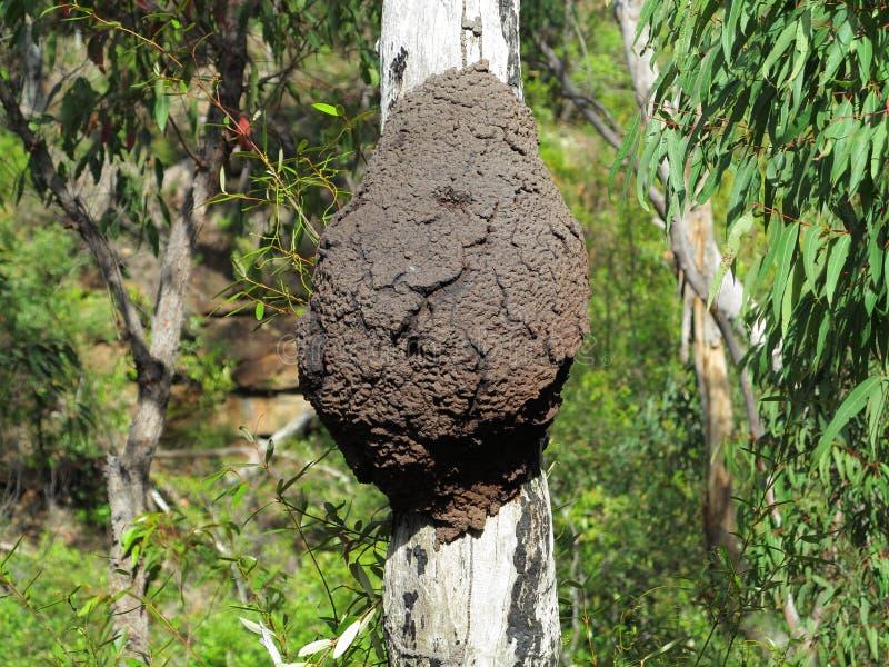 Nido arboreo della termite sul tronco di albero fotografia stock