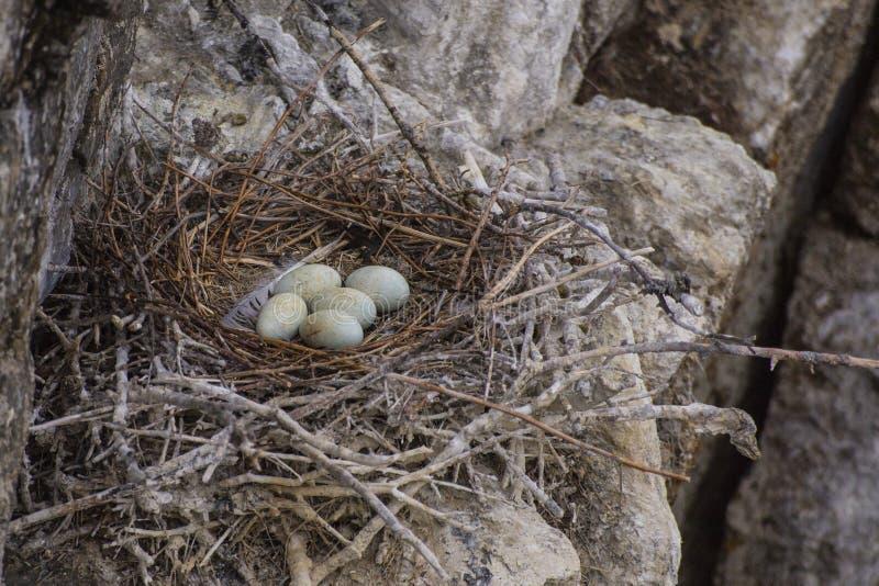 Nido con il grande cormorano nero delle uova immagine stock