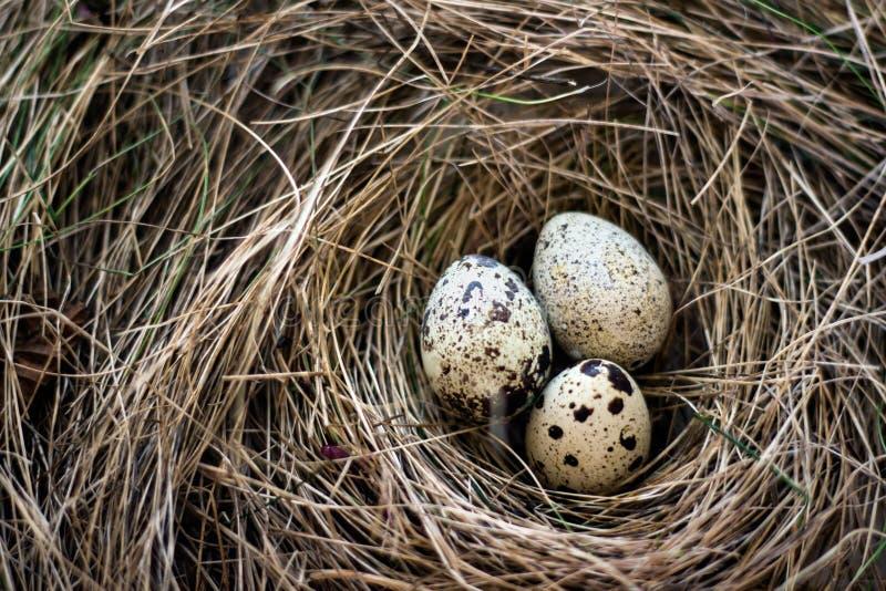 Nido degli uccelli in fieno Tre uova di quaglia in un nido del fieno fotografia stock libera da diritti