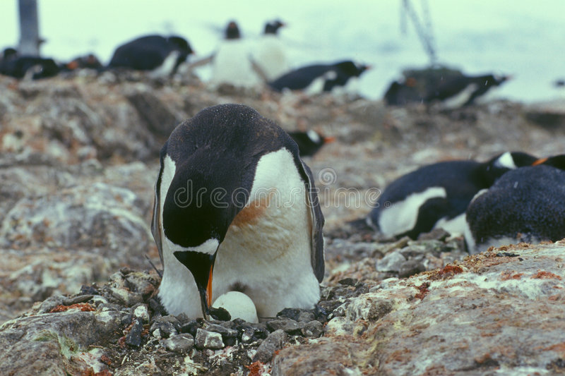 Nido dei pinguini. fotografia stock libera da diritti