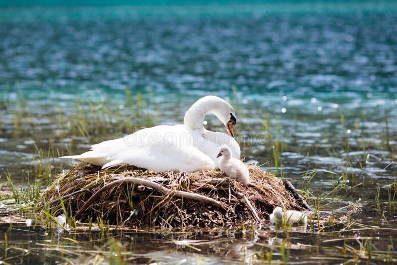 Nido del cigno nel lago della montagna Uccello e bambini della madre immagini stock libere da diritti