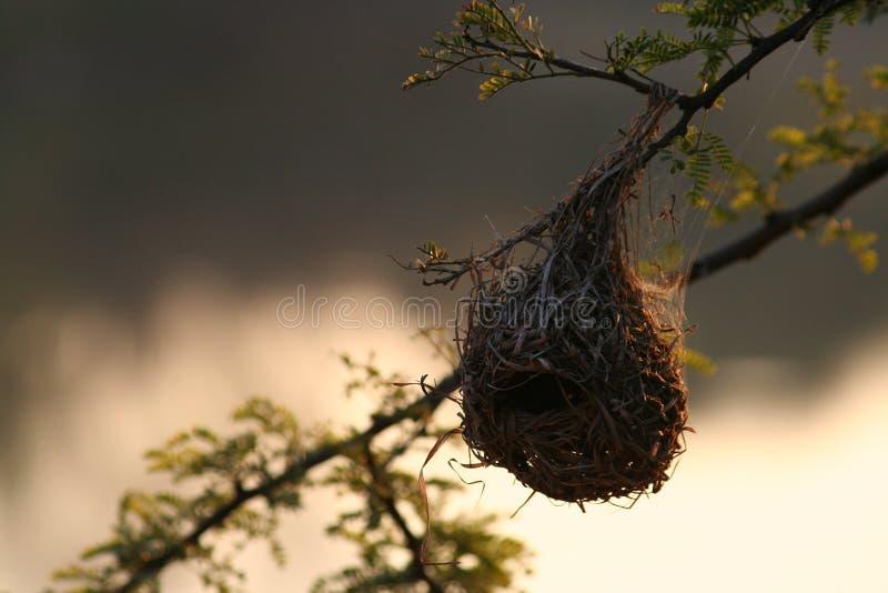 Download Nido del fringillide immagine stock. Immagine di nido, fringillide - 212227