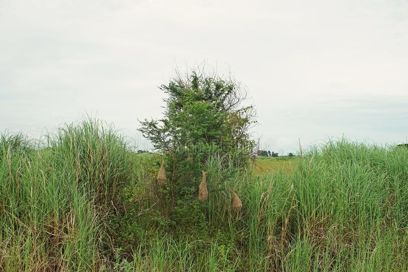 Nido dell'uccello del tessitore di Baya, il suo habitat fotografia stock libera da diritti