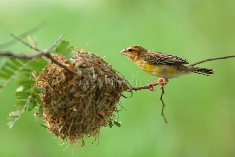Nido dell'uccello e dell'uccello fotografia stock libera da diritti