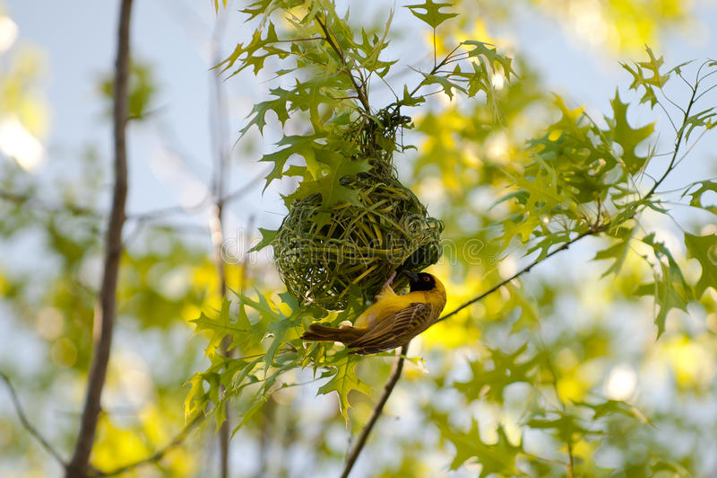 Nido della costruzione dell'uccello fotografie stock libere da diritti