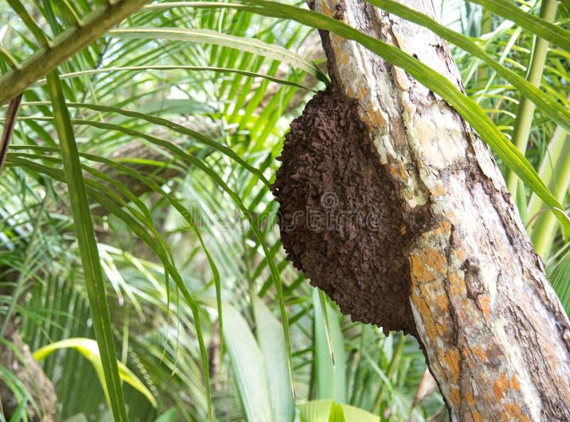 Nido della termite in un albero fotografia stock