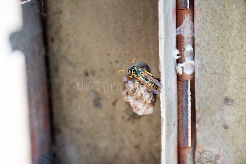 Nido della vespa fotografia stock libera da diritti