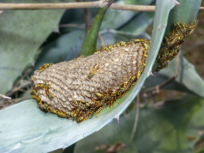 Nido della vespa di dominula di polistes con alcuni esemplari della vespa fotografia stock