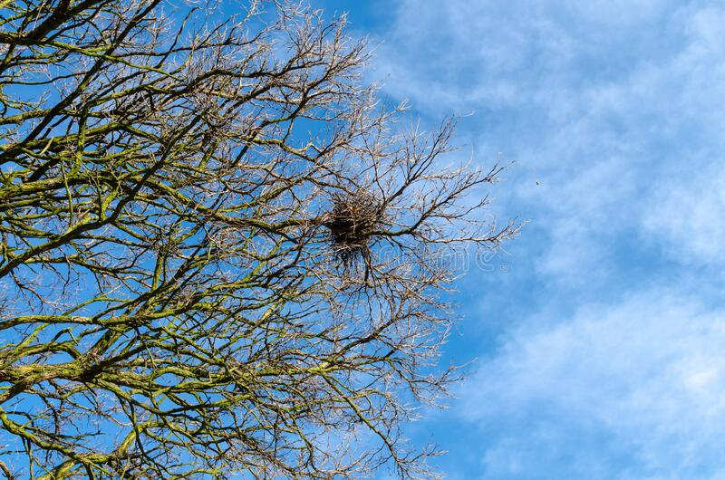 Nido di volatili sui rami sterili di un albero in primavera fotografia stock