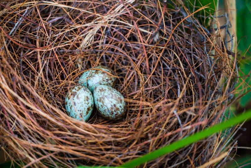 Nido ed uova dell'uccello fotografie stock libere da diritti