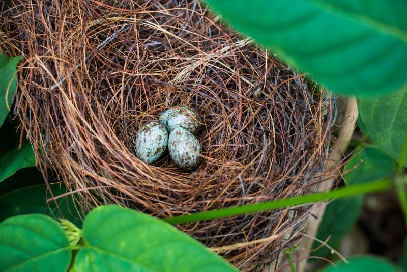 Nido ed uova dell'uccello immagini stock libere da diritti