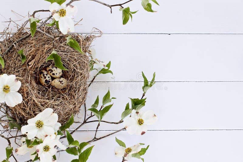 Nido ed uova dell'uccello con corniolo di fioritura bianco fotografie stock libere da diritti