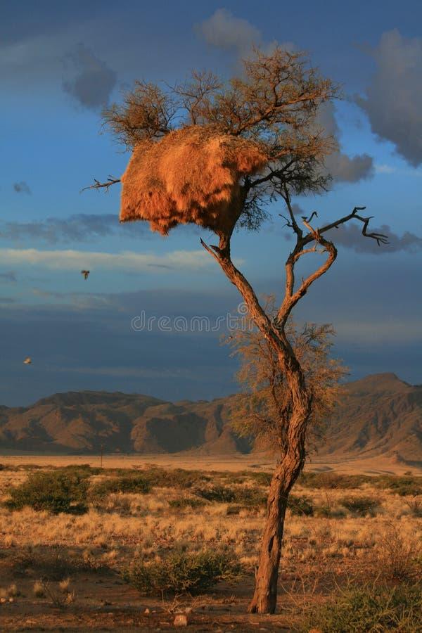 Nido namibia dei tessitori di tramonto del deserto fotografie stock