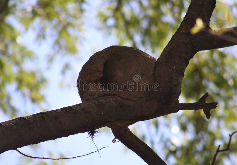 Nido Rufous di hornero fatto di argilla in un albero in Argentina fotografia stock libera da diritti
