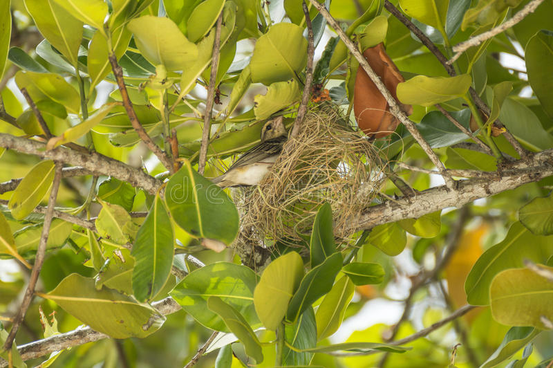 Nido, uccello di fabbricazione fody rossi femminili del Madagascar e delle Seychelles immagini stock libere da diritti