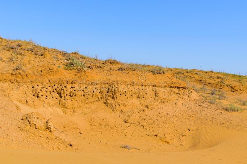 Nids des hirondelles Ouvertures nombreuses des nids des hirondelles dans une pente arénacée photo libre de droits
