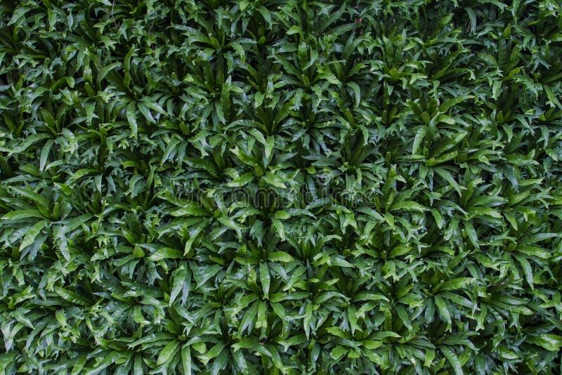 Nidus d'Asplenium une fougère qui ressemble à un parasite Les habitudes aiment dans le d'intérieur humide et humide tout au long  photo stock