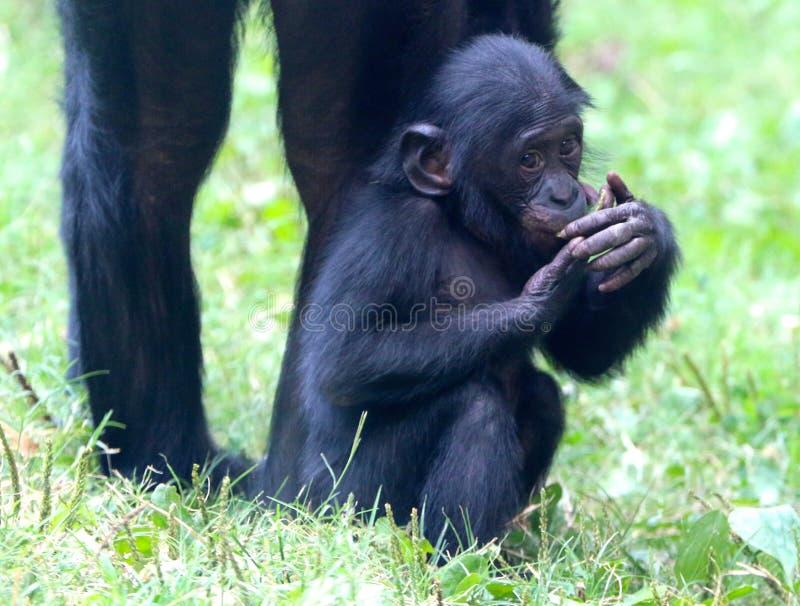 Nieśmiała Mała małpa obrazy stock