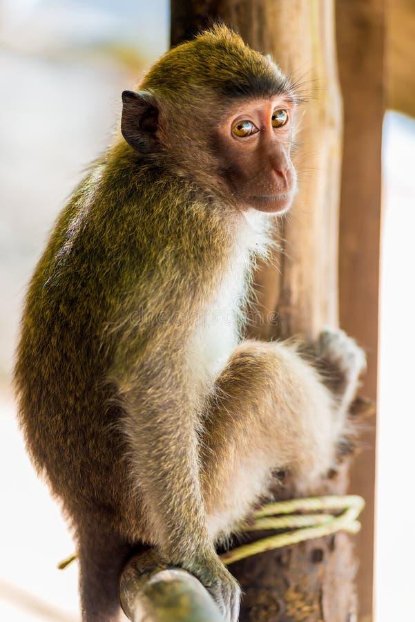 Nieśmiała piękna mała małpa zdjęcie stock