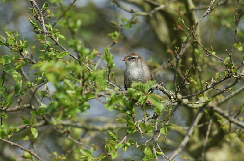 Nieśmiały i nieuchwytny Cetti Warbler Cettia cetti umieszczał na gałąź w drzewie obrazy stock