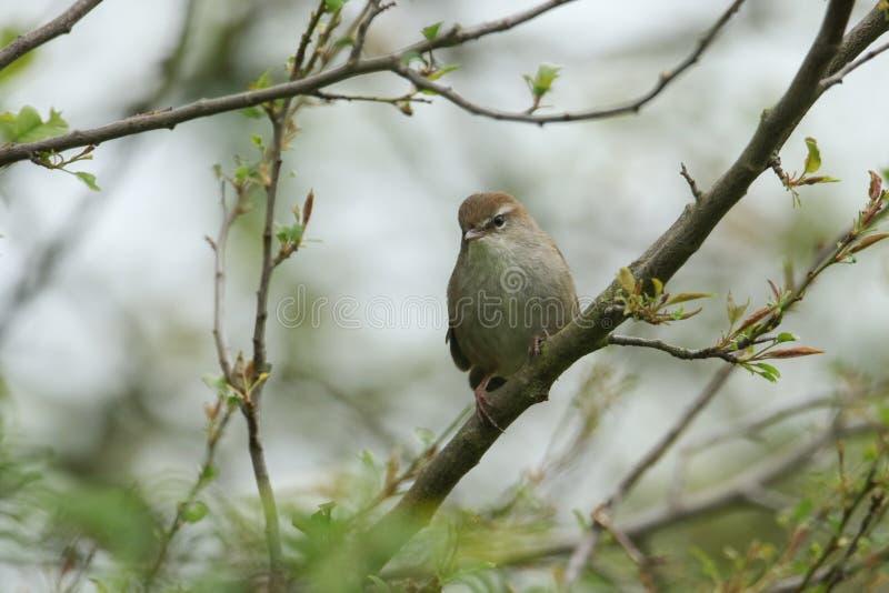 Nieśmiały i nieuchwytny Cetti Warbler Cettia cetti umieszczał na gałąź w drzewie obraz royalty free