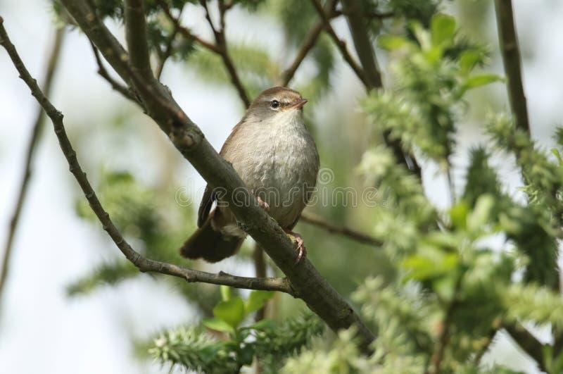 Nieśmiały i nieuchwytny Cetti Warbler Cettia cetti umieszczał na gałąź w Wierzbowym drzewie zdjęcie stock