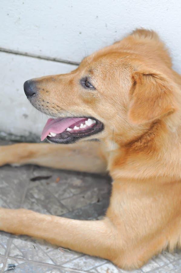 Nieświadomy pies lub otwiera usta psa fotografia stock