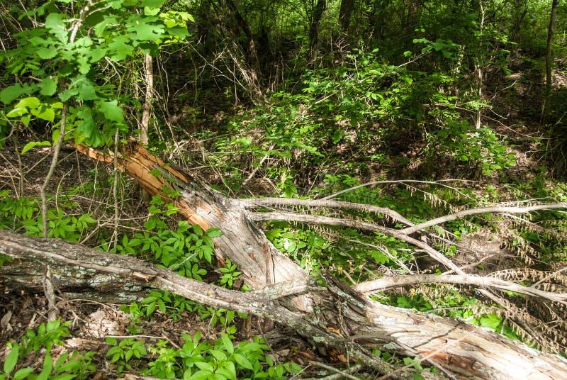 Nieżywa kończyna z nasieniodajnymi strąkami, obrazy stock