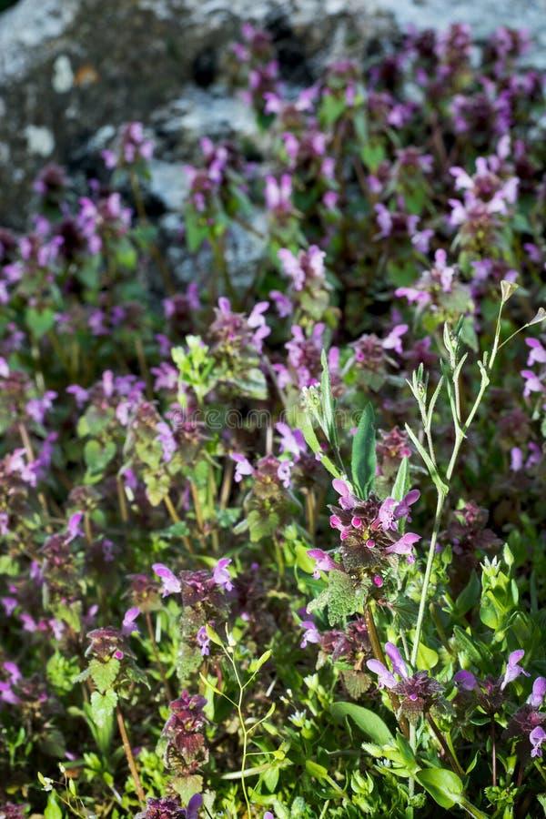 Nieżywa pokrzywa w późnego popołudnia świetle (Lamium purpureum) zdjęcia stock