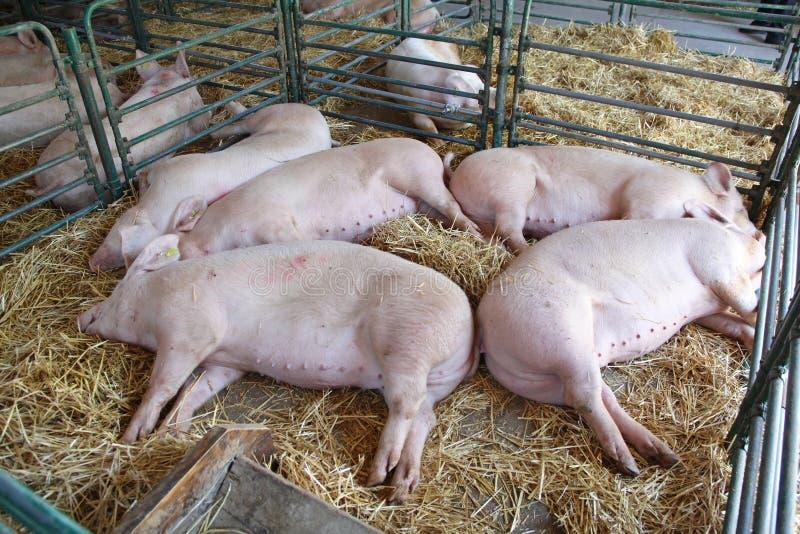 Nieżywe świnie fotografia royalty free