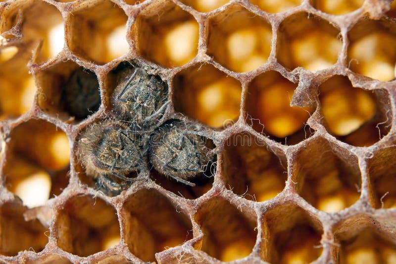 Nieżywe pszczoły fotografia royalty free