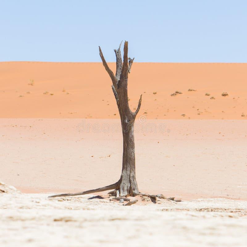 Nieżywi akacjowi drzewa i czerwone diuny Namib pustynia obraz stock