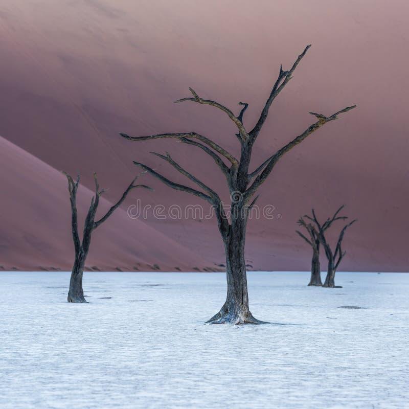 Nieżywi Camelthorn drzewa i czerwone diuny, Deadvlei, Sossusvlei, Namibia obrazy royalty free