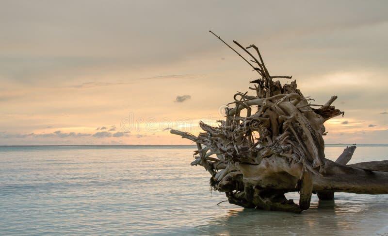 Nieżywi drzewa i suszą na plaży fotografia stock