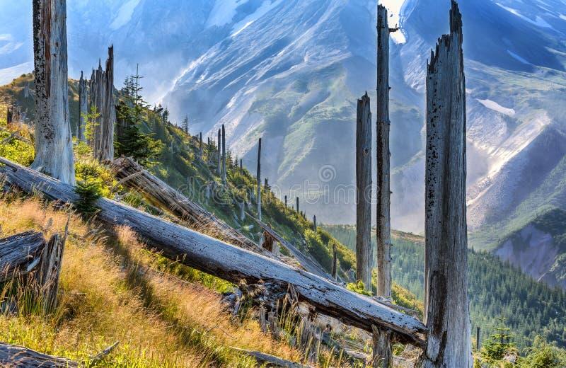 Nieżywi drzewa przy bazą Mt St Helens zdjęcie royalty free