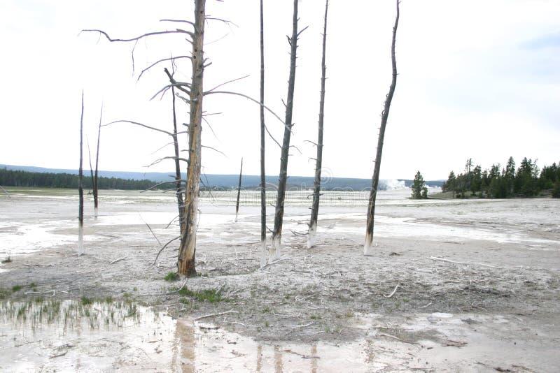 Nieżywi drzewa w Yellowstone parku narodowym obrazy royalty free