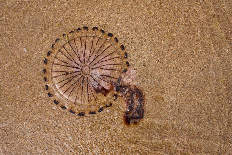 Nieżywi jellyfish myli za piaskowatej plaży na fotografia royalty free