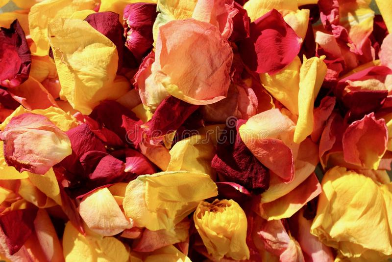 Nieżywi koloru żółtego i czerwieni róży płatki w jesieni świetle słonecznym obraz royalty free