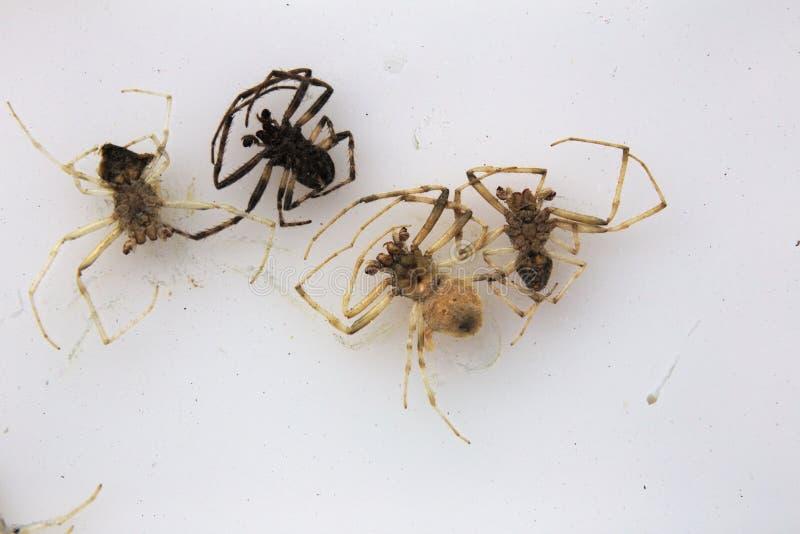 Download Nieżywi pająki Na bielu obraz stock. Obraz złożonej z obmierzłość - 53785011