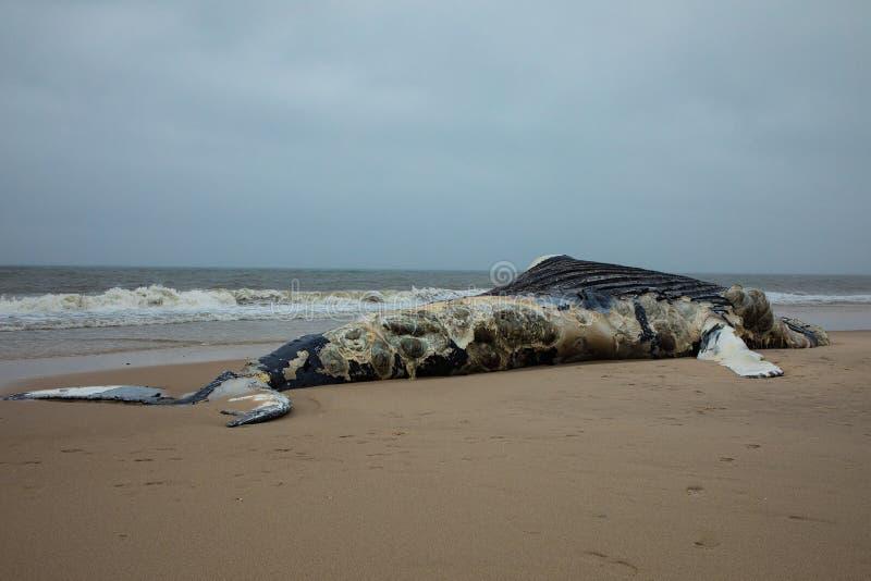 Nieżywy Żeński Humpback wieloryb na Pożarniczej wyspie, Long Island, plaża, z piaskiem w Pierwszoplanowym i Atlantyckim oceanie w obraz stock