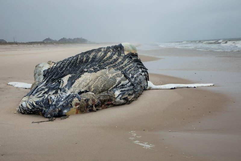 Nieżywy Żeński Humpback wieloryb na Pożarniczej wyspie, Long Island, plaża, z piaskiem w Pierwszoplanowym i Atlantyckim oceanie w obraz royalty free