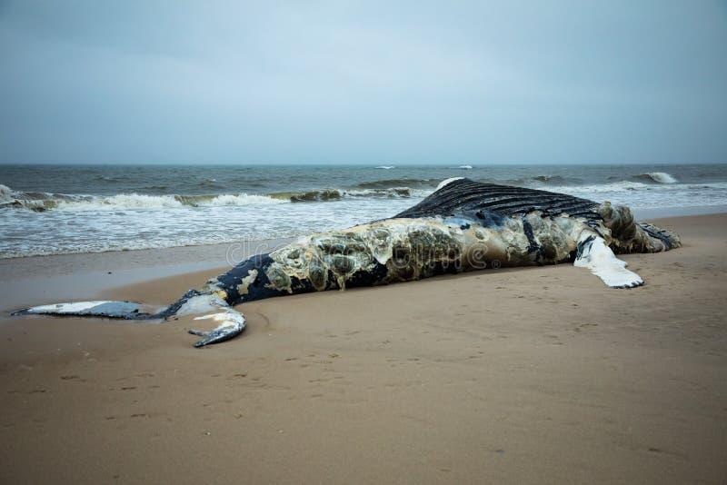 Nieżywy Żeński Humpback wieloryb na Pożarniczej wyspie, Long Island, plaża, z piaskiem w Pierwszoplanowym i Atlantyckim oceanie w zdjęcia royalty free
