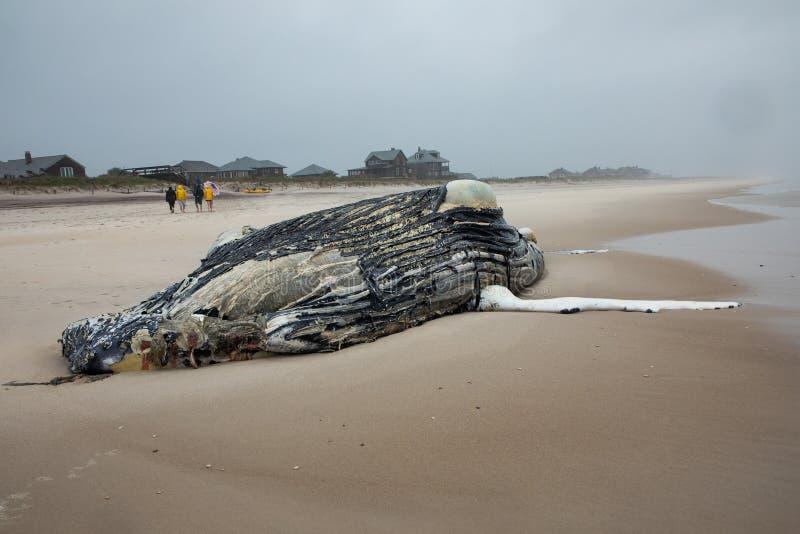 Nieżywy Żeński Humpback wieloryb na Pożarniczej wyspie, Long Island, plaża, z piaskiem w Pierwszoplanowym i Atlantyckim oceanie w obrazy royalty free