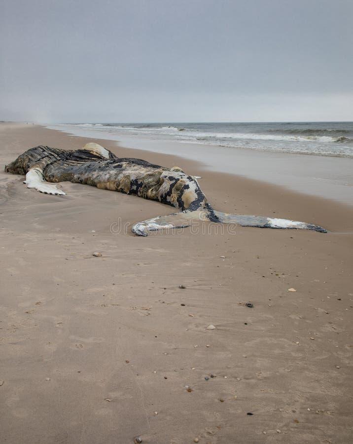 Nieżywy Żeński Humpback wieloryb wliczając ogonu i Dorsalni żebra na Pożarniczej wyspie, Long Island, plaża, z piaskiem w przedpo fotografia royalty free
