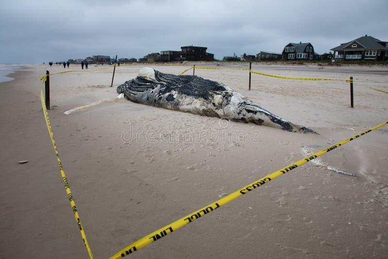 Nieżywy Żeński Humpback wieloryb wliczając ogonu i Dorsalni żebra na Pożarniczej wyspie, Long Island, plaża, z piaskiem w przedpo zdjęcia royalty free