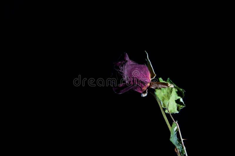 Nieżywy czerwieni róży zakończenie up strzelał odosobnionego zdjęcie stock
